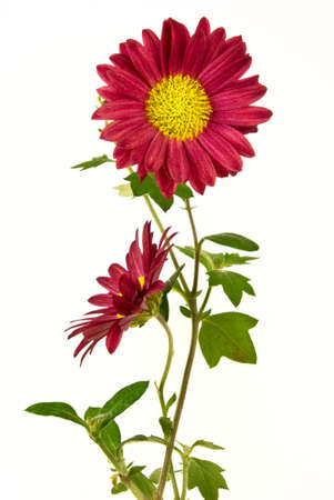 uncultivated: Pair of uncultivated chrysanthemum isolated on the white background Stock Photo