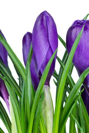 Violet crocus flowers isolated on the white background, Close-up Stock Photo - 4471811