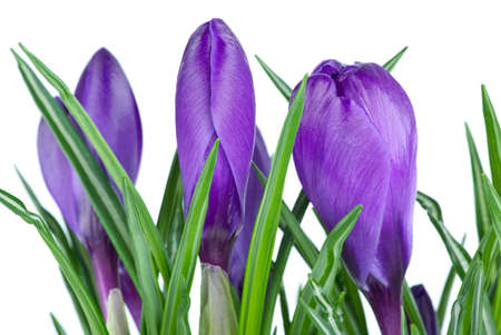 Violet crocus buds isolated on the white background. Close-up Stock Photo - 4471746