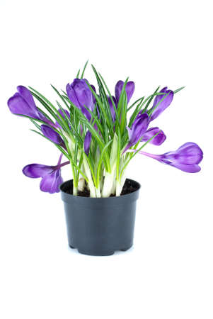 Bunch of violet crocuses in black flowerpot isolated on the white background Stock Photo - 4499456