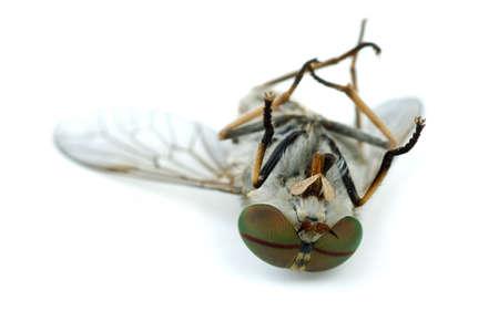 moscerino: Macro colpo di morti gadfly isolato su sfondo bianco. Shallow DOF Archivio Fotografico