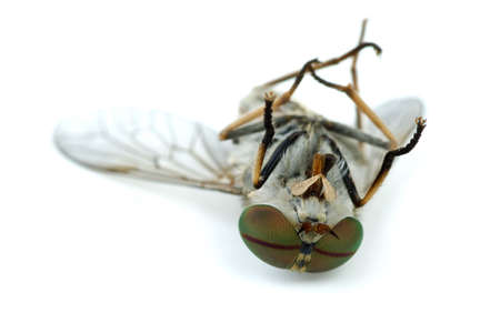 Macro shot of dead gadfly isolated on the white background. Shallow DOF photo