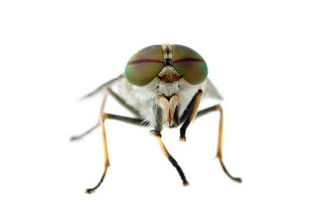 gadfly: Macro shot: gadfly isolated on the white background Stock Photo