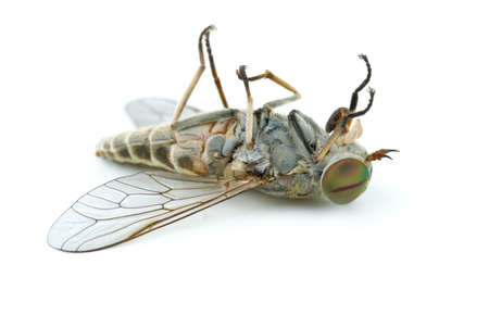 gadfly: Dead gadfly isolated on the white background