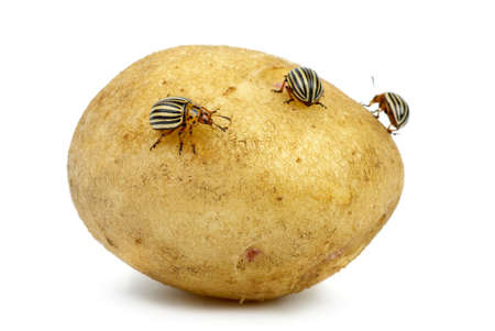chitin: Potato infested with colorado potato beetles isolated on the white background