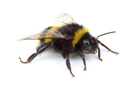 bombus: Crawling bumblebee isolated on the white background