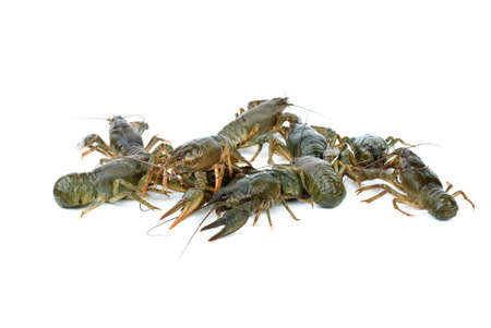 Few crawfishes isolated on the white background photo
