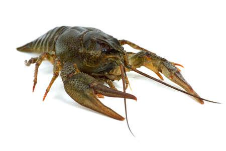 Crawfish isolated on the white background photo