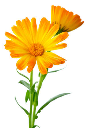 Herbs: Two calendula flowers isolated on the white background Shallow DOF. Focused on flower head Stock Photo