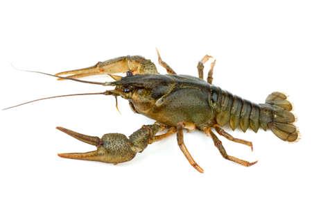 Crayfish isolated on the white background photo