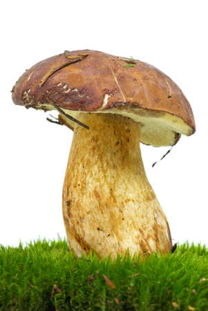 Boletus growning on the moss isolated on the white background photo