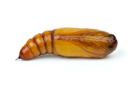 Brown chrysalis isolated on the white background