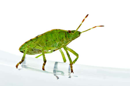 Green shield backed bug (Palomena prasina) on the white background photo