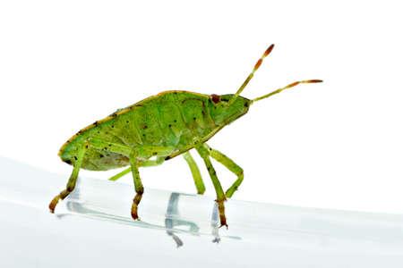 prasina: Green shield backed bug (Palomena prasina) on the white background