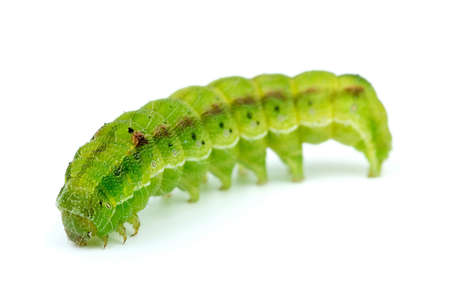 Green caterpillar isolated on the white background. Shallow DOF. Focus point - worms head