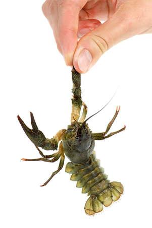 Hand holding live crawfish isolated on the white background photo