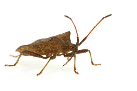 Stinkbug (Picromerus Bidens)  isolated on the white background photo