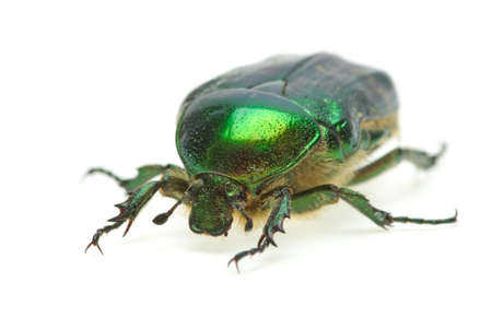 Flower chafer (rose chafer, Cetonia aurata)  isolated on the white background photo