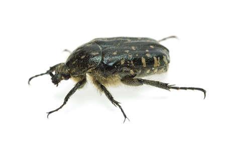 scarabaeidae: Alleculid beetle (Tropinota (Epicometis) hirta Poda (Scarabaeidae))  isolated on the white background
