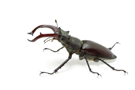 Crawling  male stag beetle (Lucanus cervus)   isolated on the white background