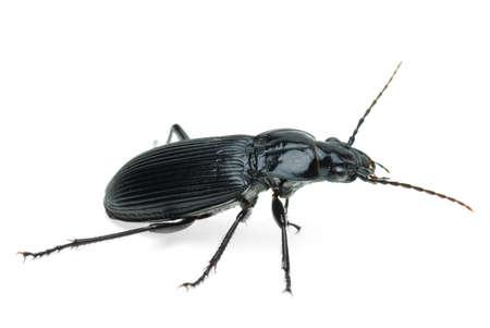 carabidae: Black carabus beetle  isolated on the white background