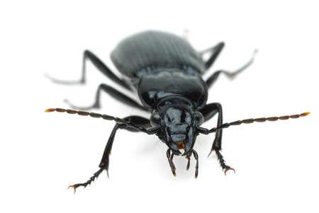 carabus: Black carabus beetle  isolated on the white background