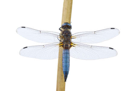 libellula: Big blue dragonfly (Libellula depressa) sitting on the cane stalk isolated on the white background