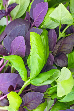 Food background: red and green basil leaves   photo