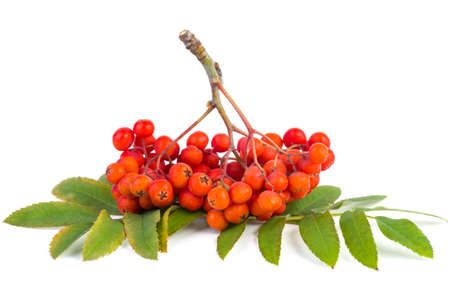 ashberry: Ashberry cluster with red berry and green leaf in a hand isolated on white background Stock Photo