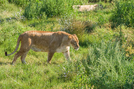 Female liger  lion and tiger hybrid  walking over the green grass