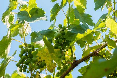 Green Grapes Фото со стока