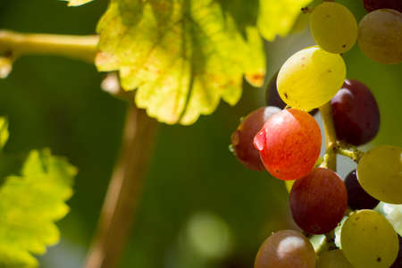 Grapes Close Up