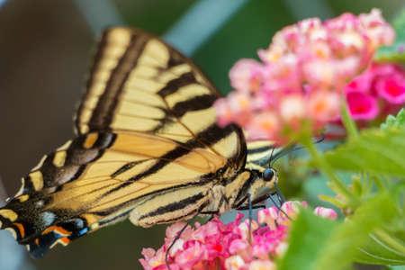 Yellow Butterfly Closeup Фото со стока