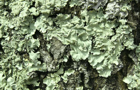 oak tree bark showing fungus and lichen Stock Photo - 4753127
