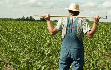salopette: agriculteur debout dans un champ de ma�s en contemplant le travail � venir  Banque d'images