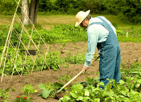 man weeding vegetable plants in his family garden Stockfoto