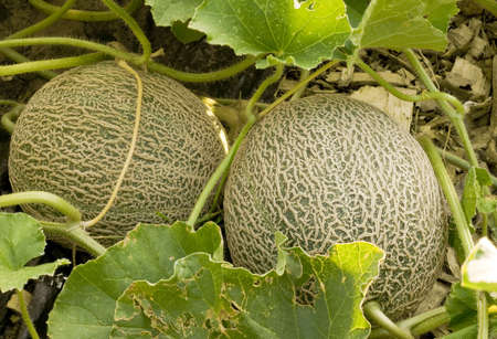 two immature cantaloupe still growing on their vines