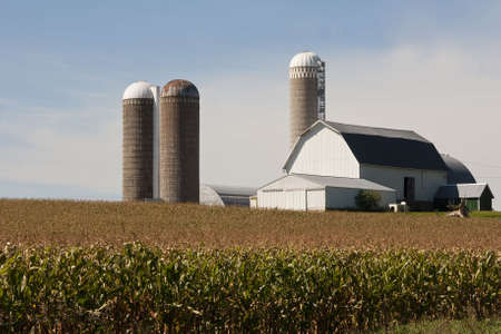 farm structure: cornfield and a barn  with silos in rural wisconsin