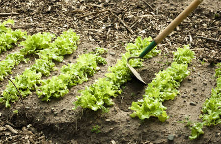weeding a lettuce row with a hoe Stock Photo - 9771284