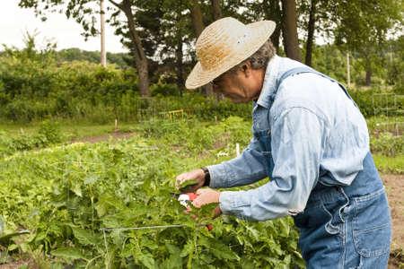 man in zijn tuin snoeien zijn tomatenplanten
