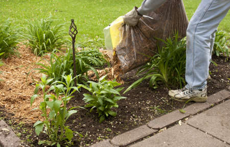 man spreading cypress mulch in a flower garden to conserve moisture Stock Photo - 13535157