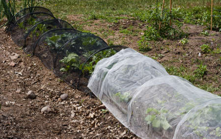 vegetables in a community garden covered with a protective mesh Stock Photo