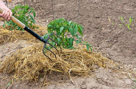 mulching tomato plants with straw to help conserve moisture Stock Photo