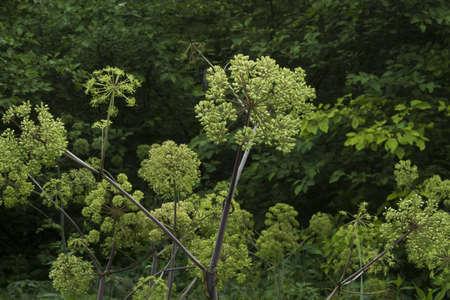 아직 피어 나지 않은 몇몇 야생 거대한 알룸 식물