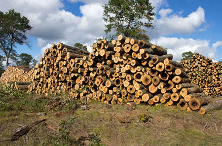 large stacks of pine logs on the edge of a clear cut operation Stock fotó