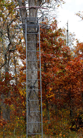 rungs: double tree stand against a large oak tree in the autumn woods