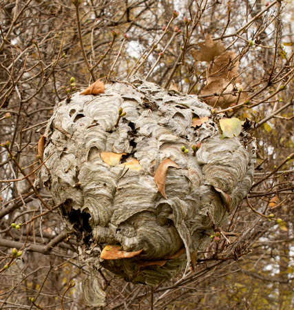 A finished Paper Wasp nest haning on a Lilac bush in Autumn