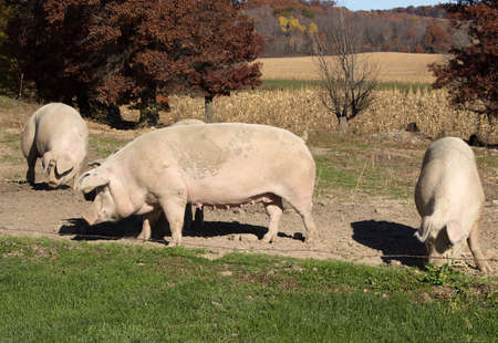 farmstead: Several large pigs on a scenic Wisconsin farmstead.