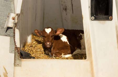 A young calf in a plastic protective enclosure. Reklamní fotografie
