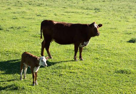 Ein Hereford-Kalb und seine Mutter auf einer üppigen Weide. Standard-Bild - 85437044